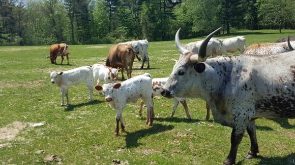 Yu Ranch, Cattle, Farm Tour